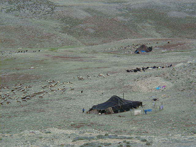 Berber tent and herd